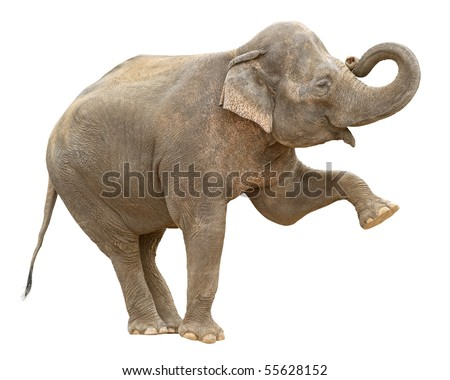 Indian elephant female making stance with leg and trunk up isolated on white background - stock photo
