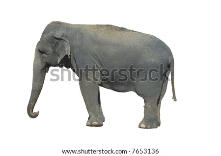 Indian Elephant isolated over white