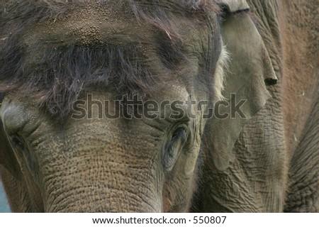 Indian Elephant, portrait, face and eyes - stock photo