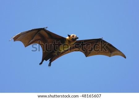 Indian Flying Fox at Tissamaharama, Sri Lanka - stock photo