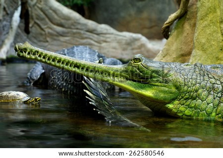 Indian gavials 3 - stock photo