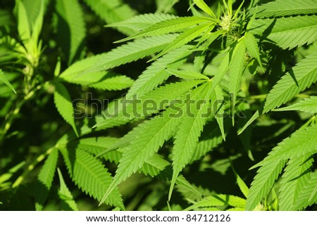 Indian hemp, detail of leaves. Suitable as a background. - stock photo