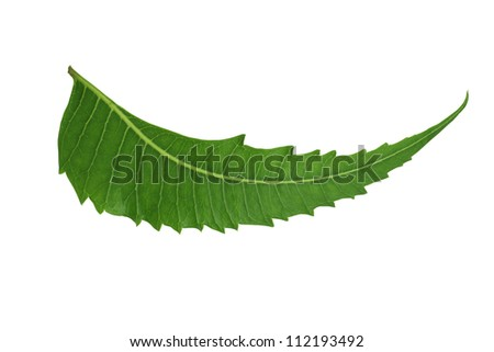 Indian Herbal / Medicinal Leaf - Neem isolated on white background - stock photo