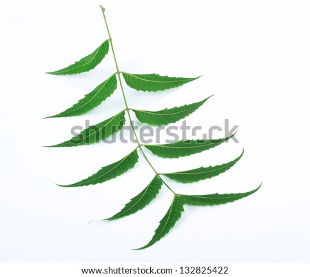 Indian Herbal / Medicinal Leaf on White Background - stock photo