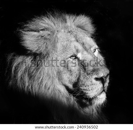 Indian Lion - Panthera leo Persica, the latest Asian Lion, black and white portrait - stock photo