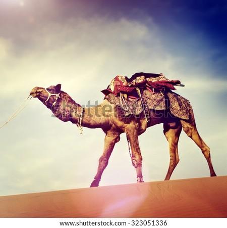 Indian Man Camel Desert Travel Concept - stock photo