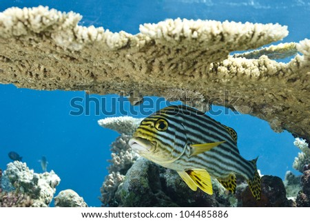 Indian Ocean oriental sweet lips Plectorhinchus Diagrammus under coral table in lagoon of indian ocean. Picture take in Ari atoll - Maldives.