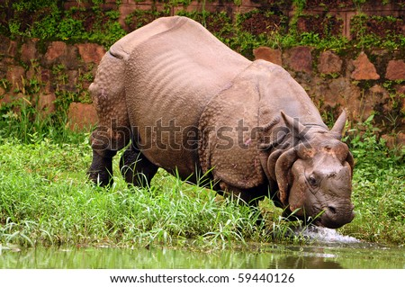 Indian one horned rhinoceros taking a plunge into the river for a bath