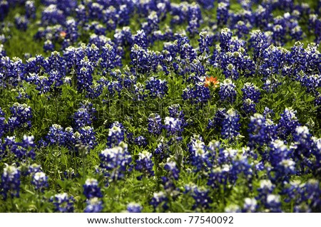 Indian Paint Brush in a field of blue bonnets - stock photo