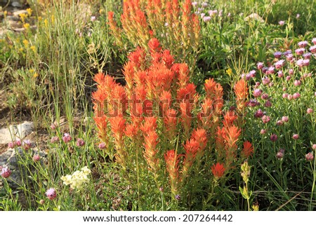Indian Paintbrush wildflowers in a mountain meadow, Utah, USA. - stock photo