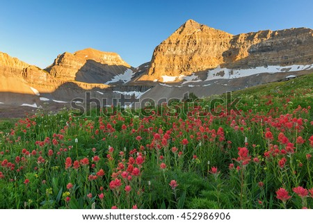 Indian Paintbrush wildflowers in an alpine meadow, Wasatch Mountains, Utah, USA. - stock photo