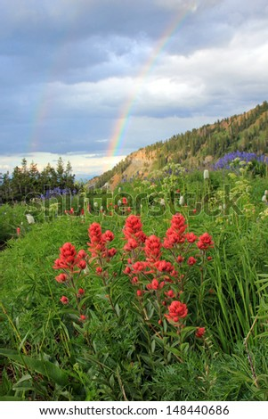 Indian paintbrush wildflowers with a rainbow in the background, Utah, USA. - stock photo