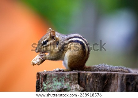 Indian palm squirrel , three-striped palm squirrel - stock photo