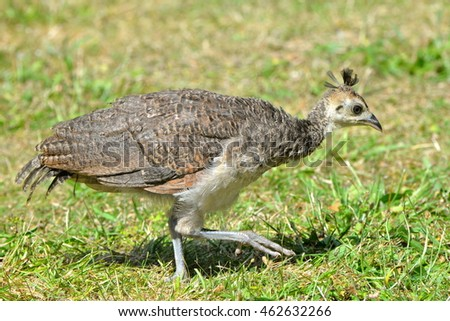 Indian Peafowl, baby, young peafowl , bird