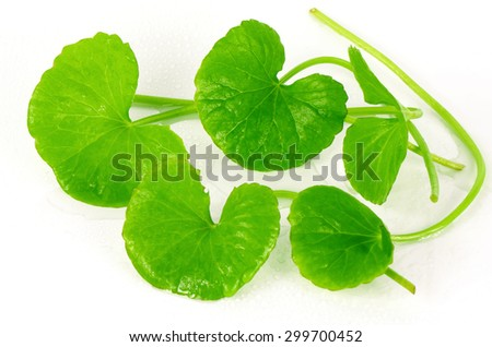 Indian pennywort (Centella asiatica (L.) Urban.) brain tonic herbal plant. - stock photo