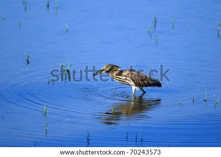 Indian Pond Heron in his natural habitat - stock photo