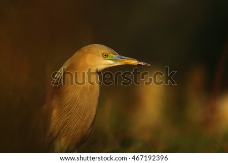 Indian pond heron in the Morning/beautiful Closeup image in golden light