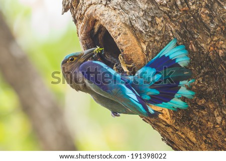 Indian roller(Coracias benghalensis) feeding insect to her cubs in hole  - stock photo