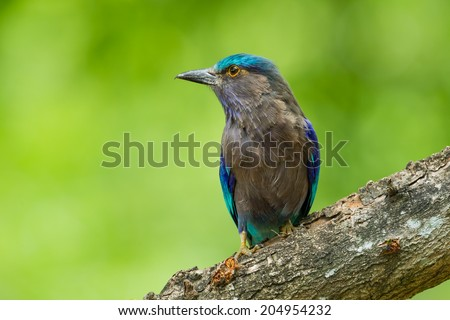 Indian roller(Coracias benghalensis) with green background in nature of Thailand - stock photo