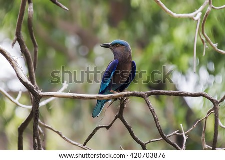 Indian roller  is a member of the roller family of birds. They are found widely across tropical Asia stretching from Iraq eastward across the Indian Subcontinent to Indochina and are best known.