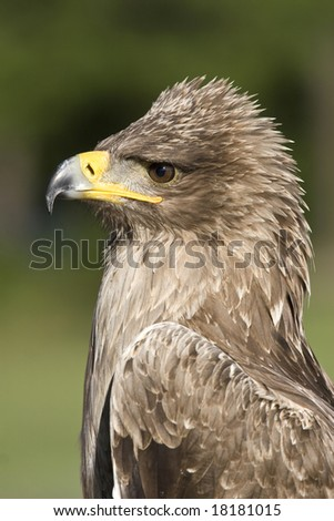 indian tawny eagle, profile portrait