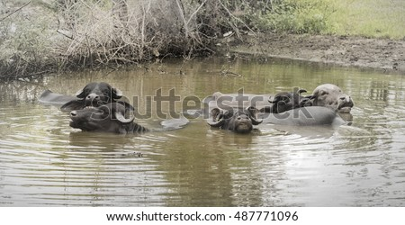 Indian water buffalo (Bubalus bubalis) wildlife animal