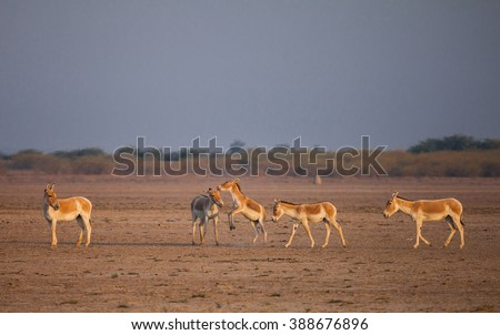 Indian wild ass or Baluchi wild ass (Equus hemionus khur) also called the ghudkhur in the local Gujarati language, is a subspecies of the onager native to Southern Asia.