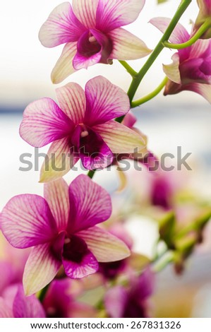 indigenous flora of tropically beautiful orchid,naturally existing in Thailand