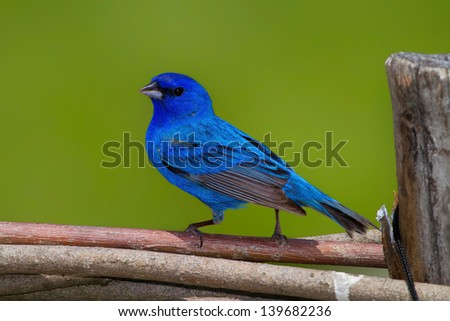 Indigo Bunting Perched On Fence Rail Against Soft Green Background  - stock photo