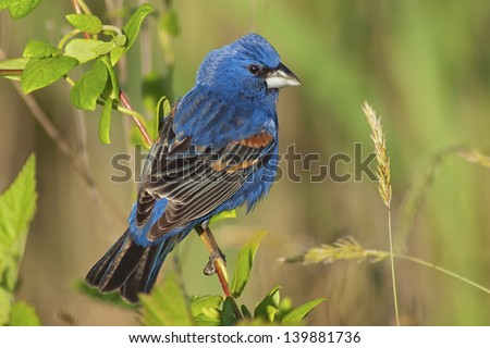 Indigo Bunting preening feathers with blue sky background - stock photo