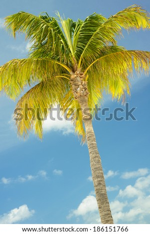 Individual Palm Tree in front of a blue sky - stock photo