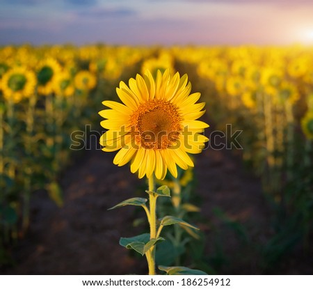 Individual sunflower. Meadow of sunflowers. - stock photo