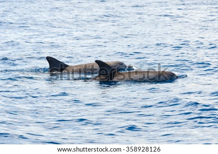 Indo Pacific bottlenose dolphins on the surface on the westcoast of Reunion Island - stock photo