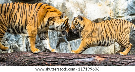 Indochinese adult and cub tigers playing - stock photo