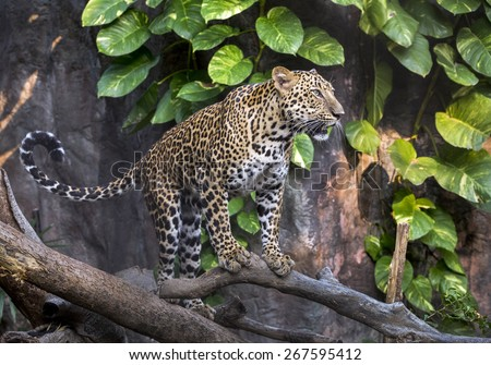 Indochinese Leopard. - stock photo