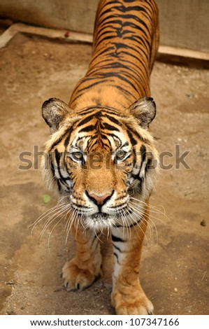Indochinese tigers live in secluded forests in hilly to mountainous terrain, the majority of which lies along the borders between countries. - stock photo