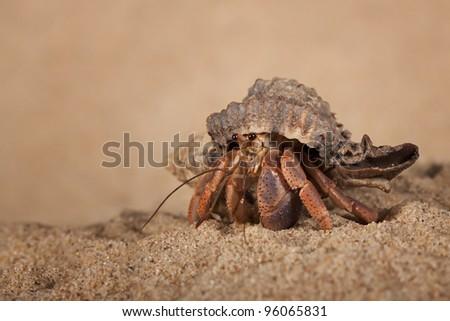 Indonesian land hermit crab (Coenobita Brevimanus) playing in the sand - stock photo
