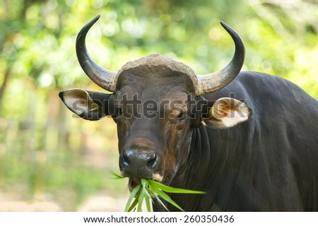 Indonesian young cow eating grass - stock photo