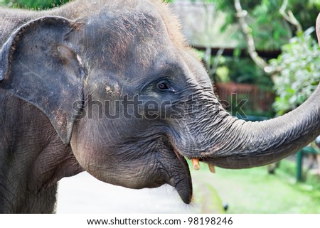 Indonesian young elephant head close up, Bali, Indonesia