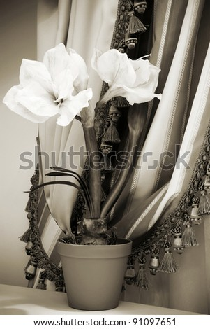 indoor flower on a background of curtains in the apartment - stock photo