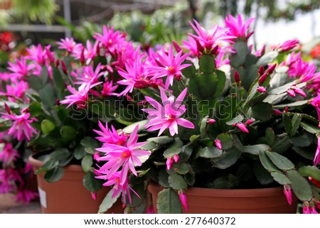 """Indoor flower Rhipsalidopsis or """"Easter cactus"""" - stock photo"""
