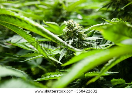 Indoor Marijuana bud in a sea of green
