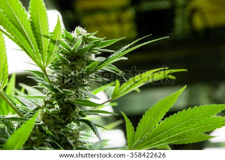 Indoor Marijuana bud with visible crystals, backlit by grow lights