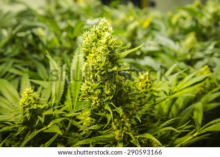 Indoor marijuana cultivation - stock photo