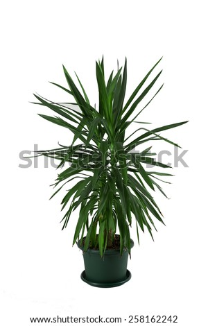 Indoor palm. Isolated on white - stock photo