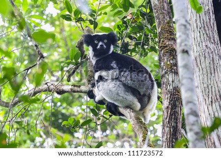 indri, andasibe, madagascar - stock photo