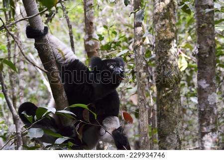 Indri, the largest lemur of Madagascar - stock photo