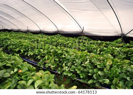 industrial greenhouse for growing strawberries - stock photo