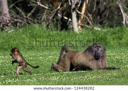 Infant baboon running away from a big adult male - stock photo