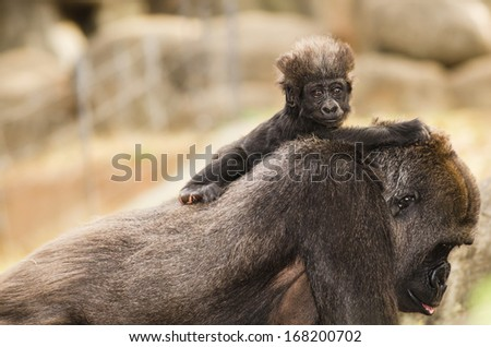Infant gorilla riding on his mother's back